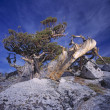 Stock Photo: Western Juniper Tree