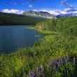 Flowers Blooming, Lake Sherburne, Glacier National Park — Stock Photo #31685947