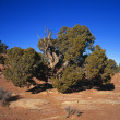 Gnarled Cedar Tree — Stock Photo #31686241
