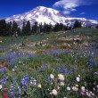 Stock Photo: Mount Rainier And Blooming Flowers