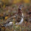 Stock Photo: Willow Ptarmigan