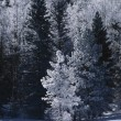 Pine Trees Covered In Frost — Stock Photo