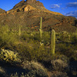 Stock Photo: Desert Landscape, OrgPipe Cactus National Monument