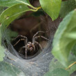 Close Up Of Grass Spider Retrieving Prey From A Funnel Web — Stock Photo