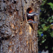 Stock Photo: Two Young Woodpeckers Poking Out Of Tree