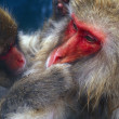 Stock Photo: Snow Monkeys Grooming