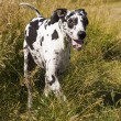 A Harlequin Great Dane — Stock Photo #31687665