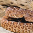 Stock Photo: Red Rattlesnake