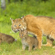 Stock Photo: Bobcat Family