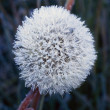 Frost On Mature Dandelion Blossom — Stock Photo #31688103
