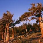 Постер, плакат: Bristlecone Pines Mount Goliath Research Natural Area Front Range