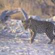 Male Leopard — Stock Photo #31688865
