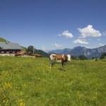 Dairy Cows Near Lofer, Austria — Stock Photo