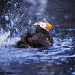 Stock Photo: Tufted Puffin Bathing At SeLife Center, Seward