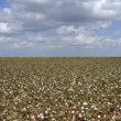 Stock Photo: Cotton Field