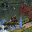 Stock Photo: Red Fox Watching Geese