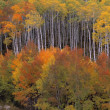 Stock Photo: Variety Of Colorful Aspen Trees