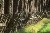 An Olden Wooden Fence Surrounding Tree Trunks, Northern California Coast U.S.A. — Stock Photo