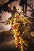 A Large Bunch Grapes — Stockfoto