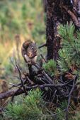 A Red Squirrel Eating A Pine Cone — Stock Photo