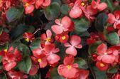 Flowering Begonia — Stock Photo