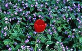 A Tulip Bloom And Ground Cover Plant — Stock Photo