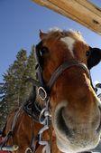 A Carriage Horse In Winter — Stok fotoğraf