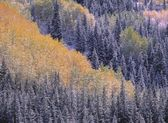 Autumn Aspen Grove Surrounded By Snow Dusted Evergreen Forest, San Juan Mountains, Colorado, Usa — Stock Photo