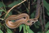 Northern Brown Snake (Storeria D. Dekayi) Coiled On A Branch, Daniel's Area, Patapsco State Park — Stock Photo