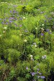 Flores silvestres en flor — Foto de Stock