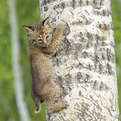 Bobcat Kit Climbing Tree — Stock Photo