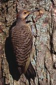 Flicker Bird On A Tree — Stock Photo