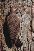 Flicker Bird On A Tree — Stock Photo