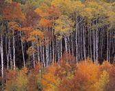 Aspen Grove, Gunnison County, Colorado, Usa — Stock Photo