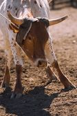 Rancher Roping Longhorn Cattle — Stock Photo
