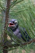 Fledgling Blue Jay In Branch — Stock Photo