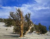 Grove Of Bristlecone Pine Trees, Inyo National Forest — Stock Photo