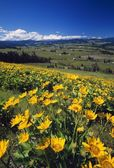 Yellow Flowers Blooming, Hood River Valley, Mount Hood — ストック写真