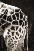 Hindquarters Of A Giraffe — Foto de Stock