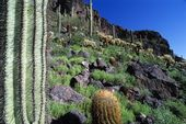 Desert Landscape With Saguaro, Barrel, And Teddy Bear Cholla Cacti, Picacho Peak State Park — Stock Photo