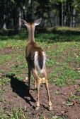 Rear-View Of Whitetail Deer — Stock Photo