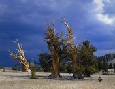 A Grove Of Bristlecone Pines, Inyo National Forest — Stock Photo