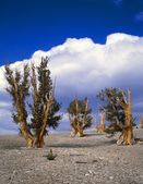 Grove Of Bristlecone Pine Trees, World's Longest-Lived Species, Inyo National Forest — Stock Photo