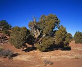 Gnarled Cedar Tree — Stock Photo