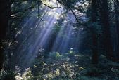 Sun Beams Through Fog And Forest Trees — Stock Photo