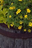 Yellow Flowers In A Planter — Stock Photo