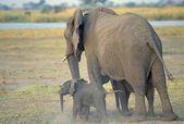 Elephant Cow And Calf On Chobe River Flood Plain In Botswana — Stock Photo