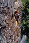 Two Young Woodpeckers Poking Out Of Tree — Stock Photo