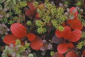 Closeup Of Bearberry Leaves — Stock Photo