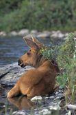 Moose Calf Lying In Stream — Stock Photo